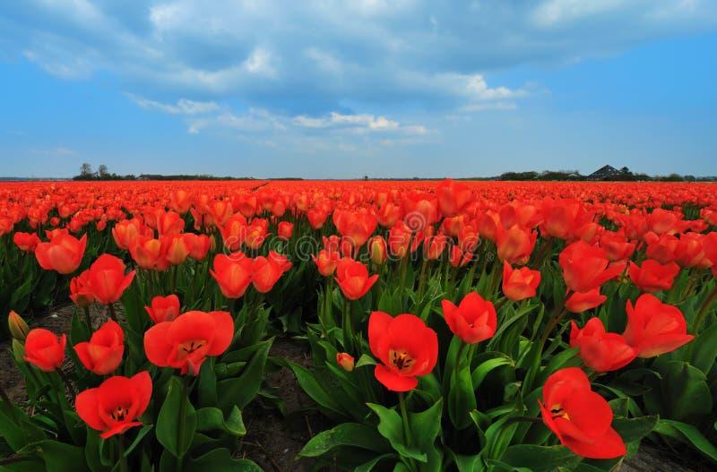 Campo dos tulips fotos de stock royalty free