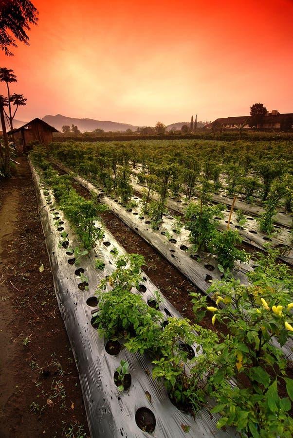 Campo dos vegetais fotos de stock