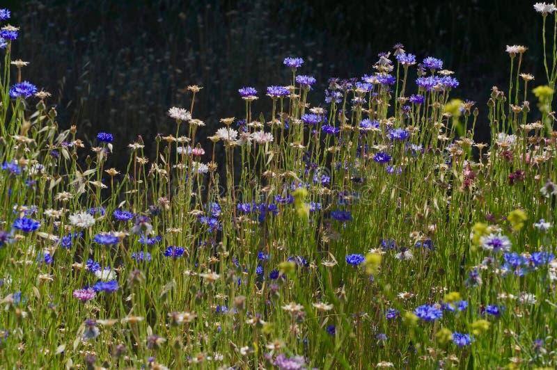 Campo dos Wildflowers em juliano, Califórnia foto de stock royalty free