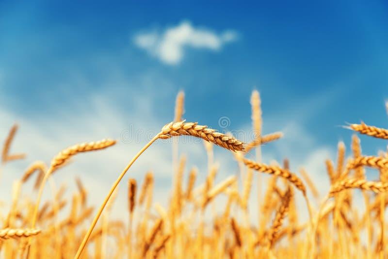 Campo dourado com colheita e o céu azul fotografia de stock