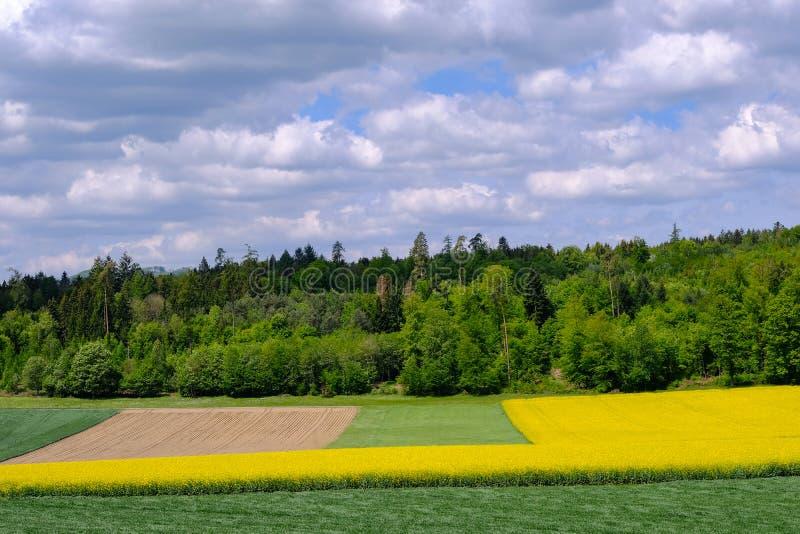 Campo dourado de florescer a colza amarela, Brassica Napus, com as nuvens bonitas no céu Hausen AG, Suíça, Europa fotos de stock royalty free