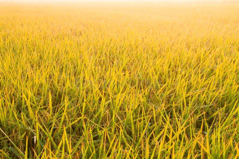 Campo dourado do arroz com fundo colorido do céu fotografia de stock royalty free