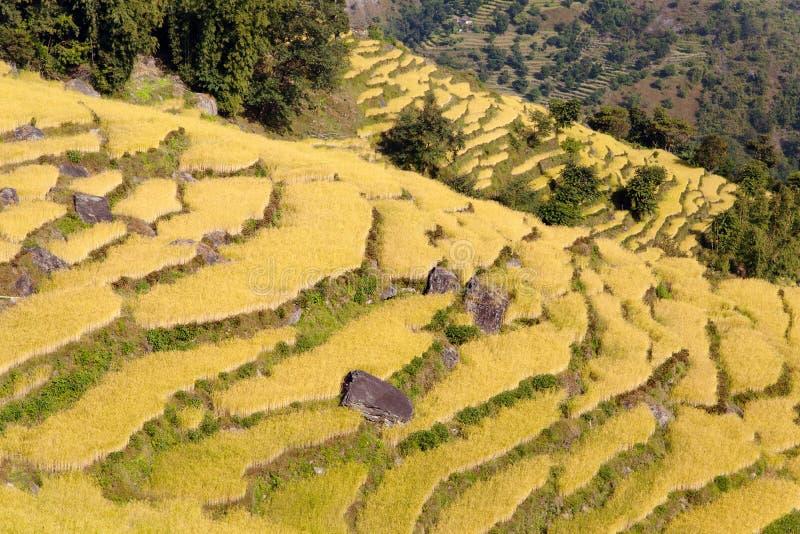 Campo dourado do arroz em Nepal fotos de stock royalty free
