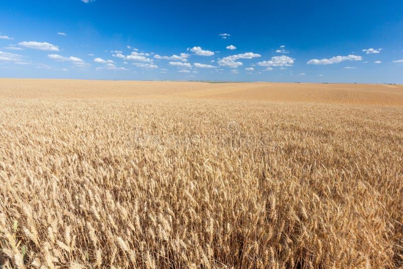 Campo dourado do arroz pronto para a colheita com céu azul imagens de stock