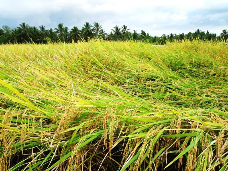 Campo dourado do arroz, tempo de colheita, Bali fotografia de stock