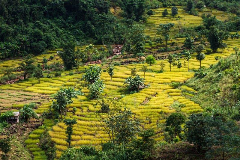 Campo dourado do arroz, uma beleza natural bonita na montanha em Nan, Nan Province, Tailândia imagens de stock