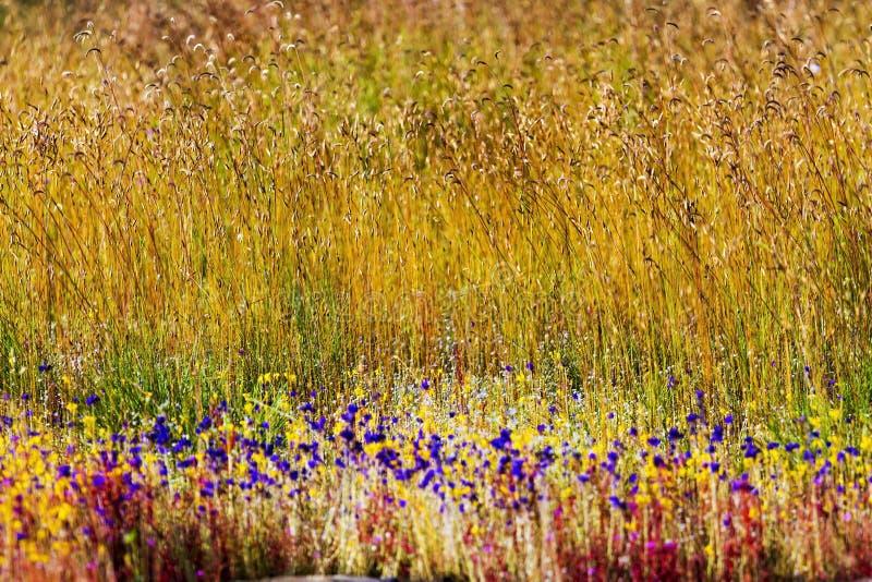 Campo dourado do borrão bonito dos delphinoides do Utricularia imagens de stock