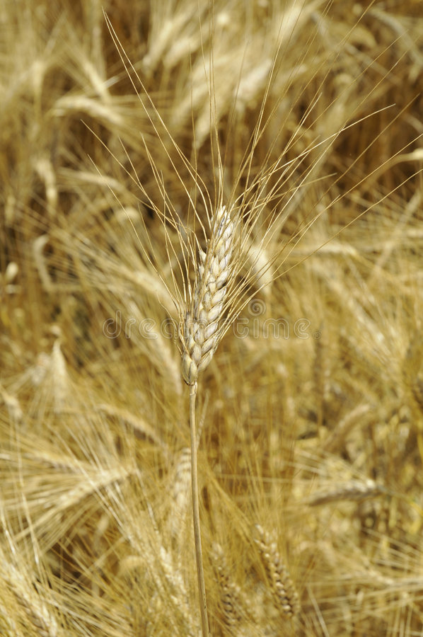 Campo dourado do cereal fotografia de stock