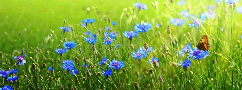 Campo e borboleta de flor do milho Fundo do verão foto de stock