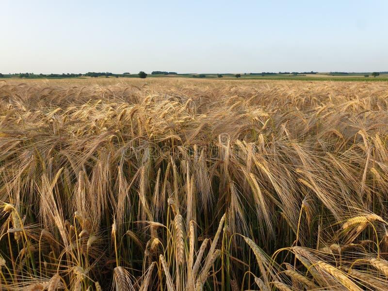 Campo e céu de grão do trigo fotografia de stock