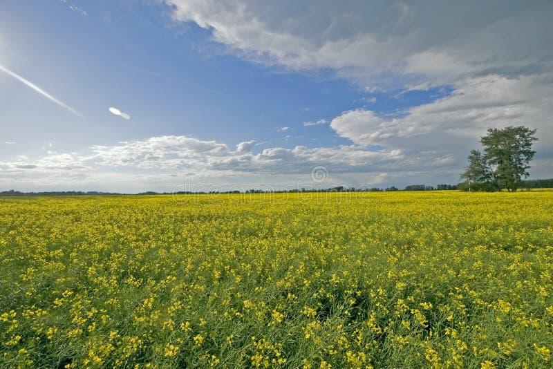 Campo e cieli blu di Canola immagine stock libera da diritti