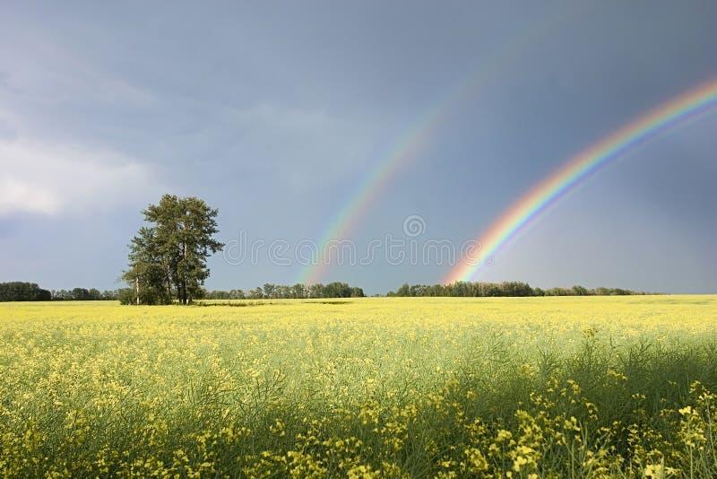 Campo e cieli blu di Canola fotografia stock