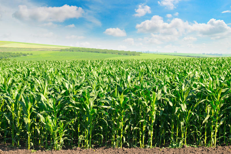 Campo e cielo blu di cereale fotografia stock libera da diritti