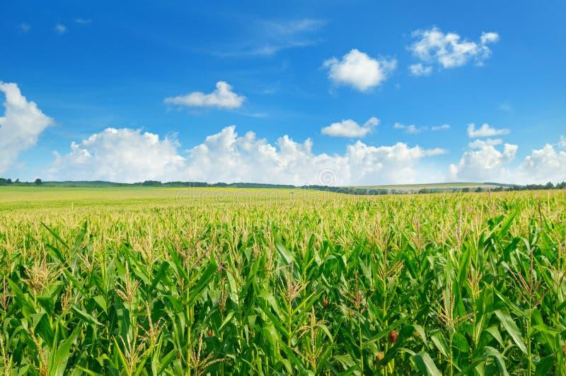 Campo e cielo blu di cereale verde immagini stock
