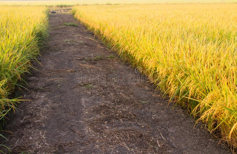 campo e estrada dourados do arroz do outono no campo imagens de stock royalty free