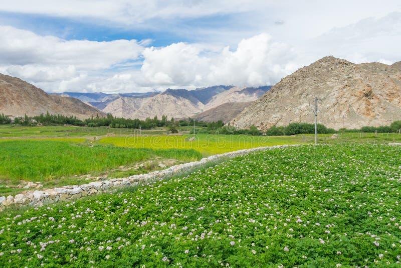 Campo e flor do arroz em Leh fotos de stock