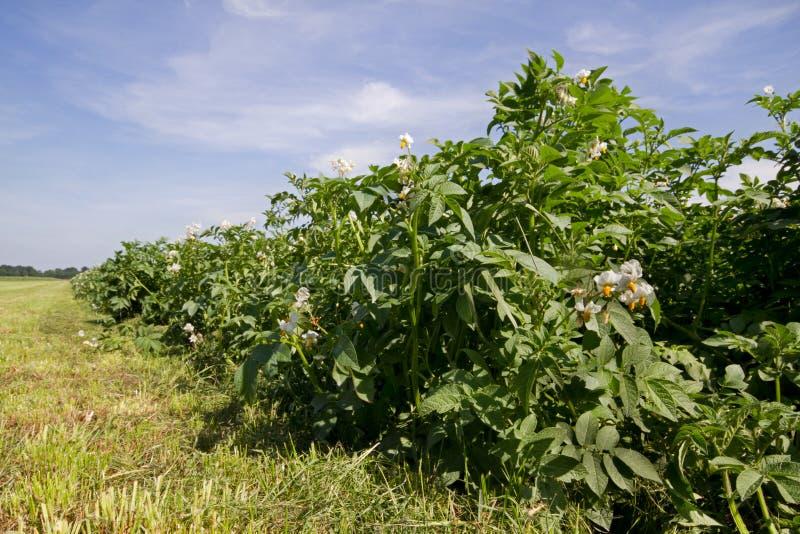 Campo e hierba de la patata fotografía de archivo