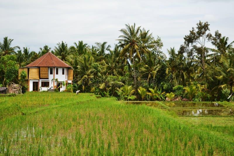 Campo e palmeiras do arroz fotos de stock royalty free