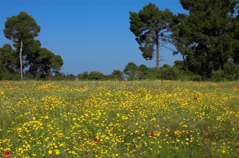 Campo e pini di erba immagine stock