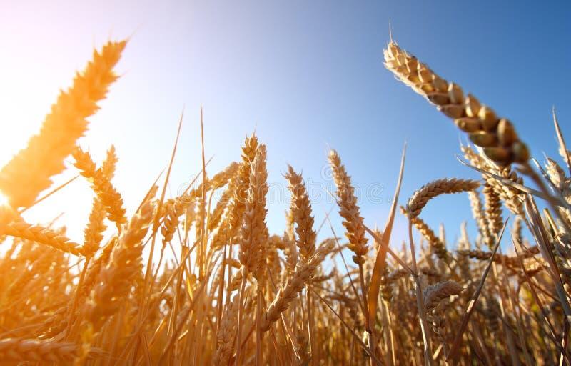 Campo e por do sol dourados de trigo imagem de stock