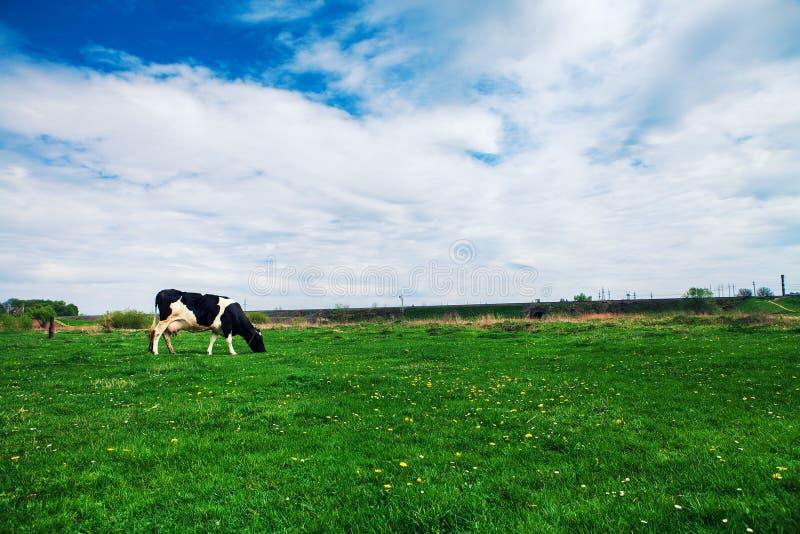 Campo e vaca verdes fotos de stock