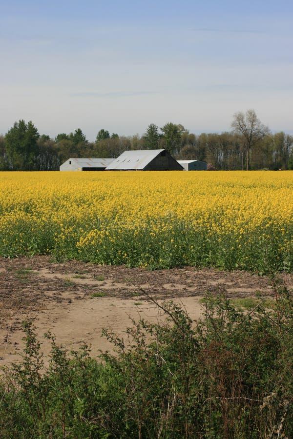 Campo ed azienda agricola della senape dell'Oregon immagine stock