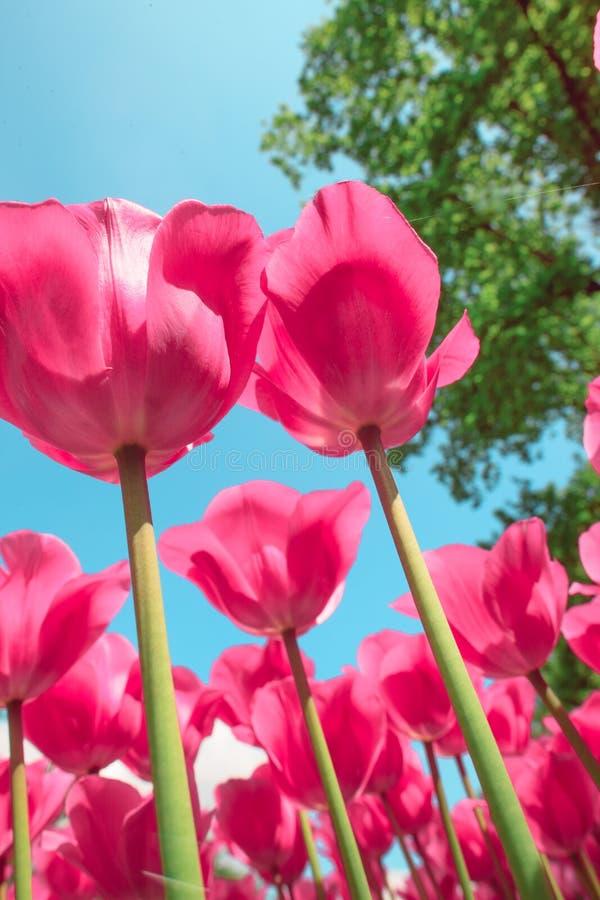 Campo em jardins de Keukenhof, Lisse da tulipa, Países Baixos fotografia de stock royalty free