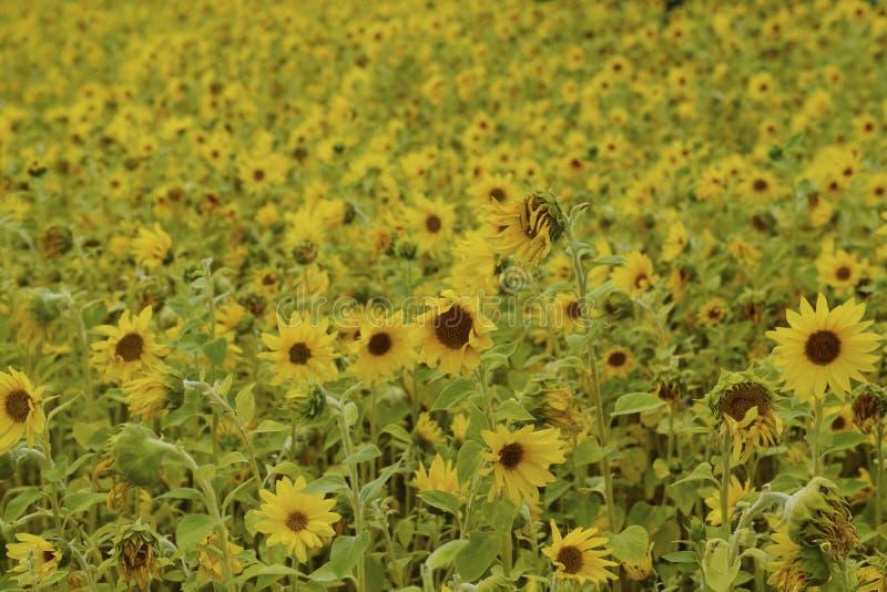 Campo enchido com os girassóis de florescência fotografia de stock royalty free