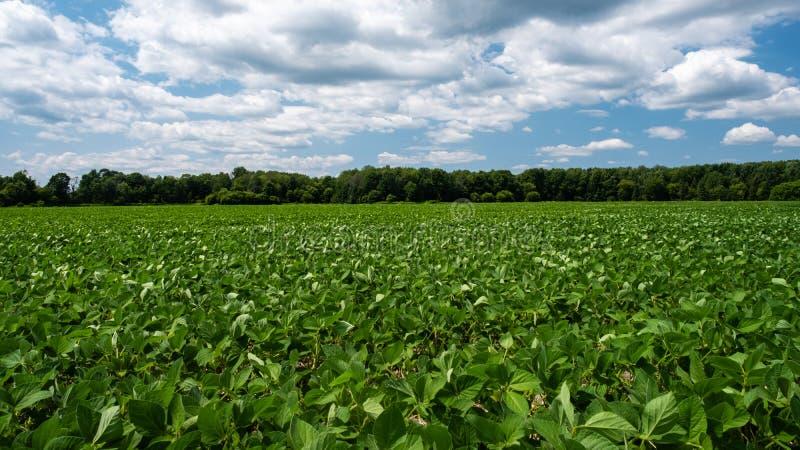 Campo enorme de la soja verde foto de archivo