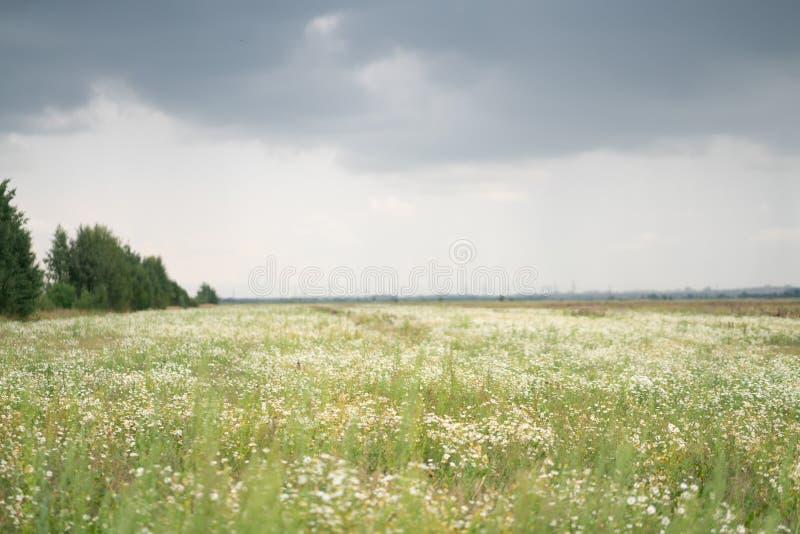Campo enorme de las margaritas del verano imagen de archivo