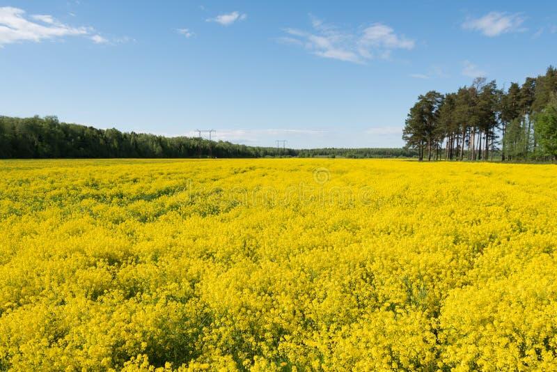 Campo enorme dei fiori gialli luminosi immagini stock libere da diritti