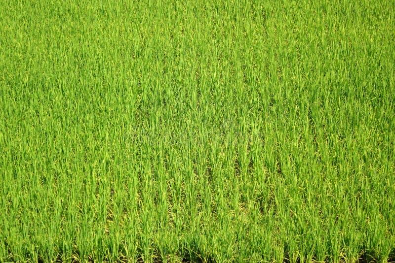 Campo enorme y verde del arroz imágenes de archivo libres de regalías