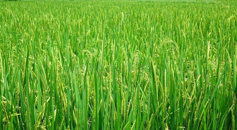 Campo enorme y verde del arroz fotografía de archivo libre de regalías