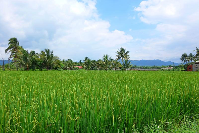 Campo enorme y verde del arroz con las palmeras fotos de archivo libres de regalías