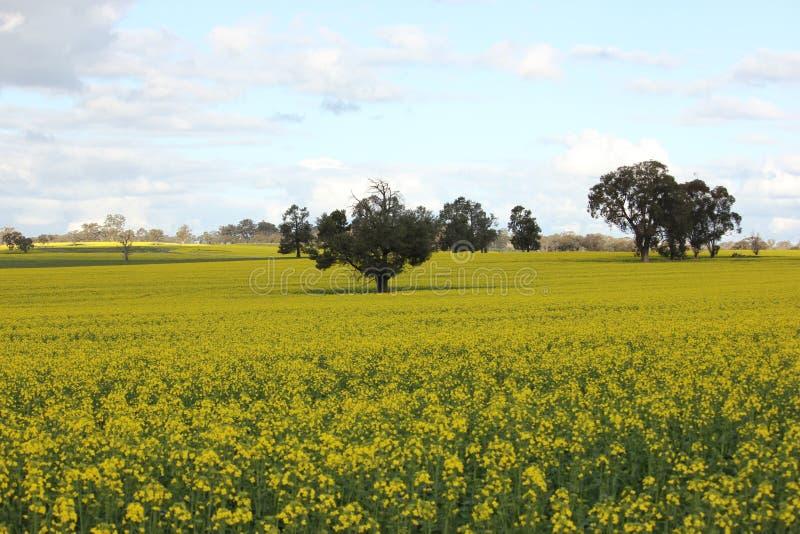 Campo escénico de las flores de oro del canola, cosecha que cultiva, agricultura fotografía de archivo libre de regalías