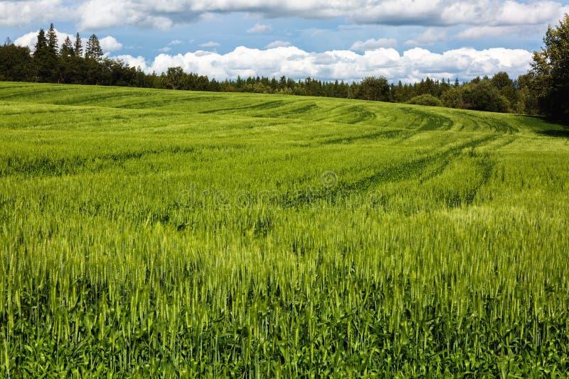 Campo expansivo del trigo joven foto de archivo libre de regalías