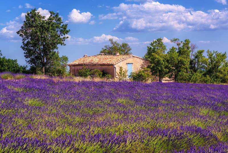 Campo floreciente de la lavanda en Provence, Francia imagenes de archivo