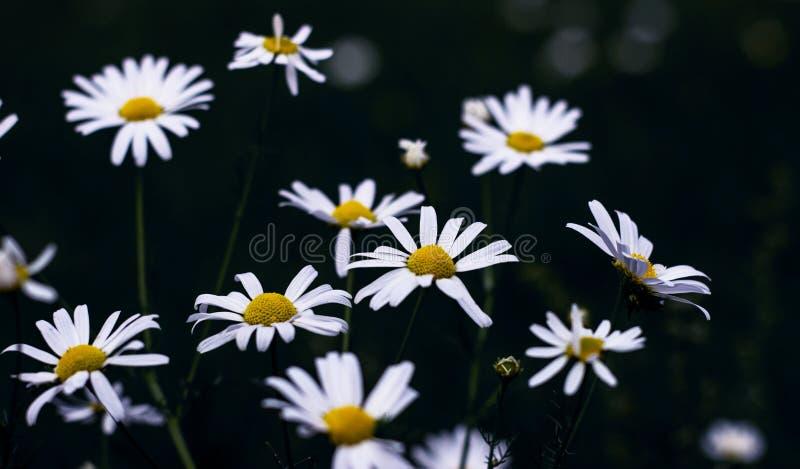 Campo floreciente de la manzanilla, flores de la manzanilla Tratamiento herbario natural fotos de archivo libres de regalías