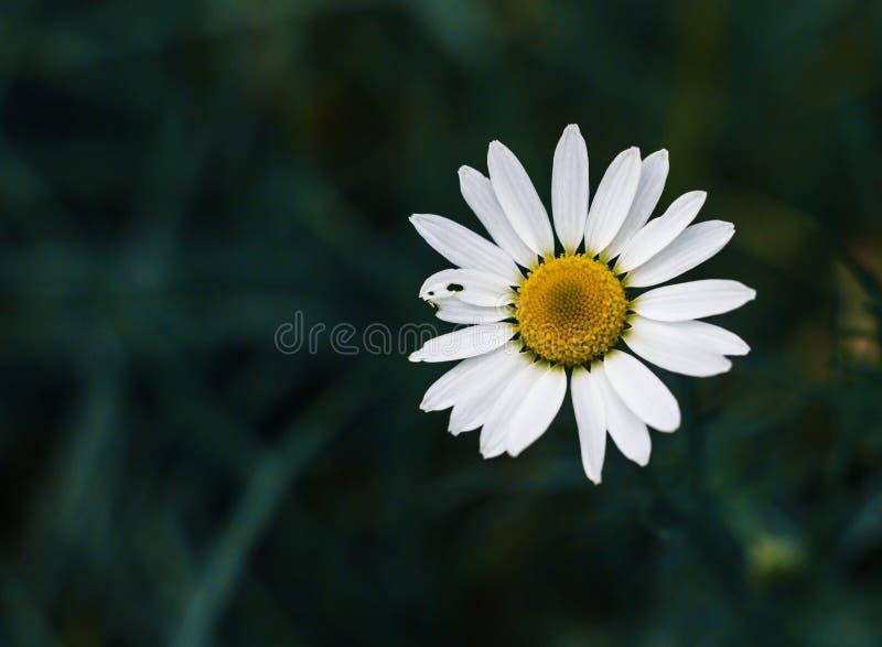 Campo floreciente de la manzanilla, flores de la manzanilla Tratamiento herbario natural imágenes de archivo libres de regalías
