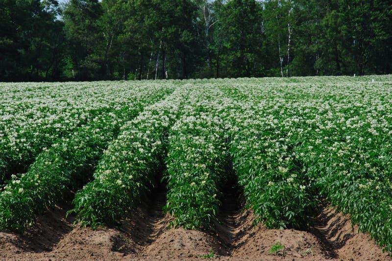 Campo floreciente de la patata en Wisconsin fotografía de archivo