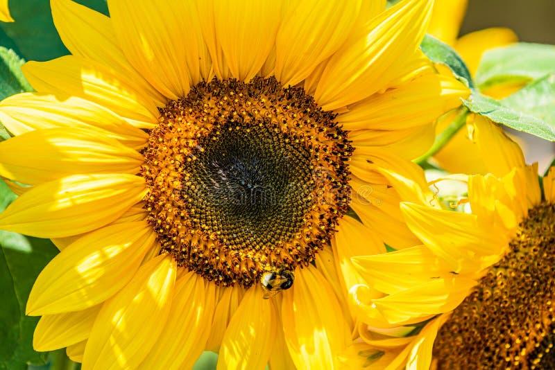 Campo floreciente del girasol en la luz del sol con el abejorro foto de archivo