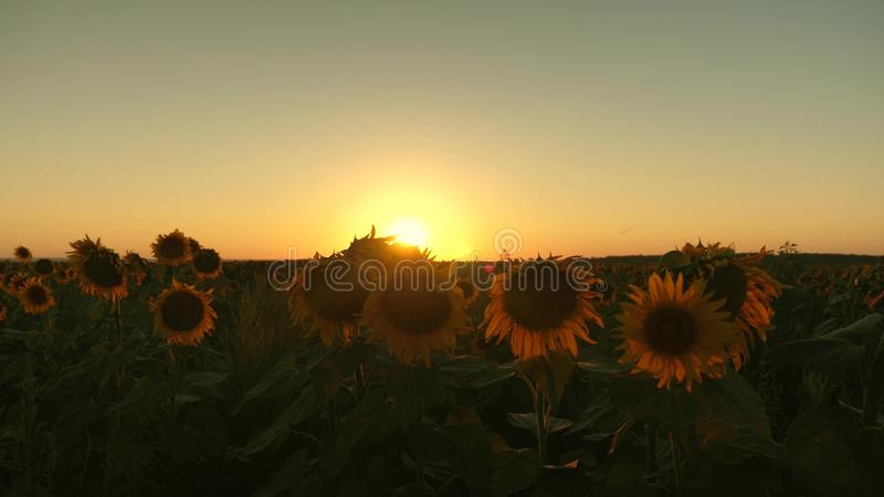 Campo floreciente del girasol en los rayos de una puesta del sol hermosa Concepto agrícola del negocio girasol orgánico de la cos imágenes de archivo libres de regalías