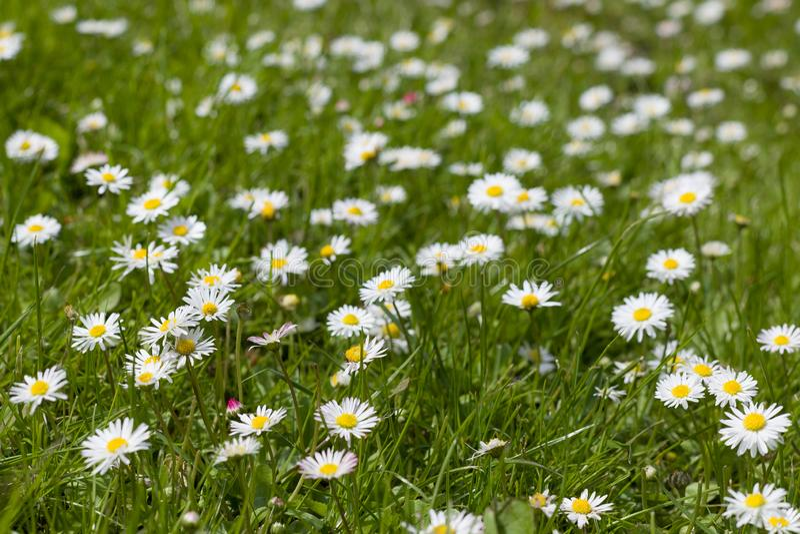 Campo floreciente hermoso de la margarita Flores de Pascua de la primavera Fondo de la flor de la margarita Prado de la manzanill fotos de archivo libres de regalías