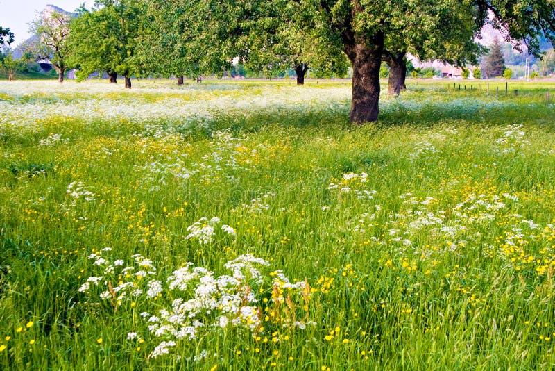 Campo florescido fotografia de stock royalty free