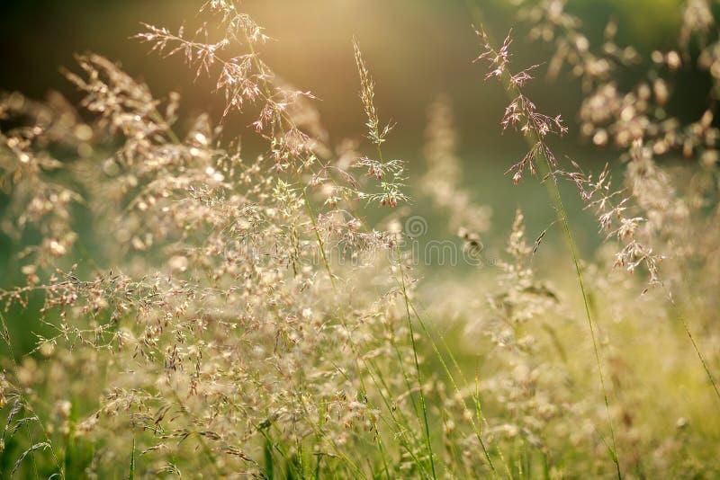 Campo fresco del verano en la luz del sol del amanecer, fondo de la naturaleza fotos de archivo libres de regalías