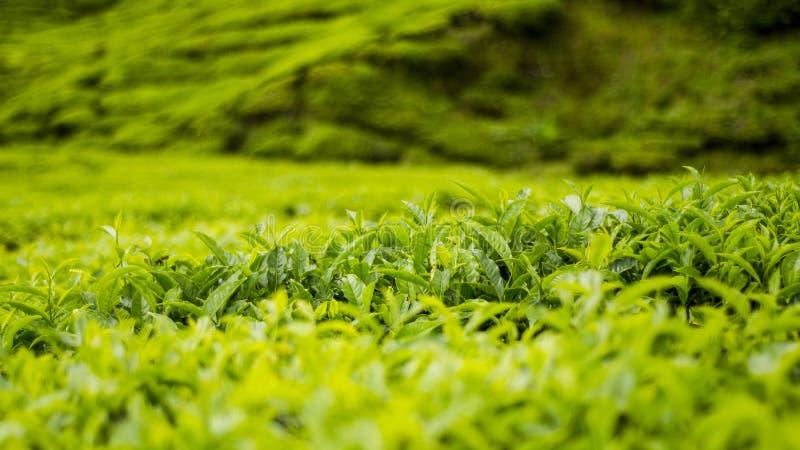 Campo fresco della piantagione di tè verde per uso del fondo fotografia stock libera da diritti