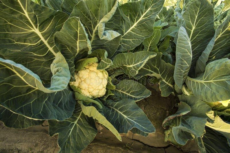 Campo fresco verde da couve-flor, agricultura orgânica fotografia de stock royalty free