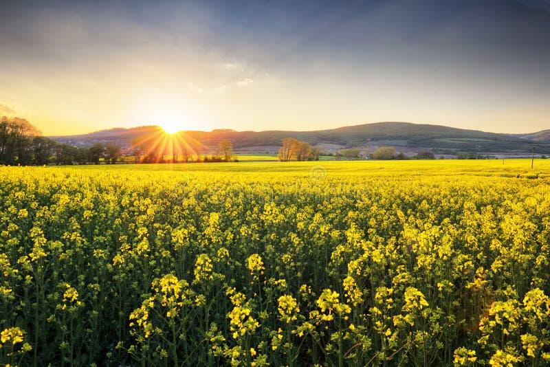 Campo giallo al tramonto con il seme di ravizzone immagine stock