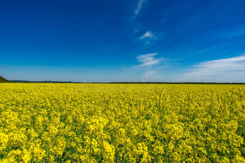 Campo giallo con canola di fioritura fotografie stock