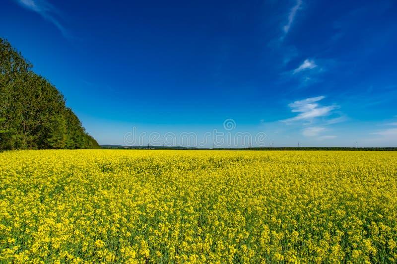 Campo giallo con canola di fioritura fotografia stock